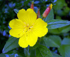Szappanfű - A Természet Otthona - Ligetszépe, a sárga csoda