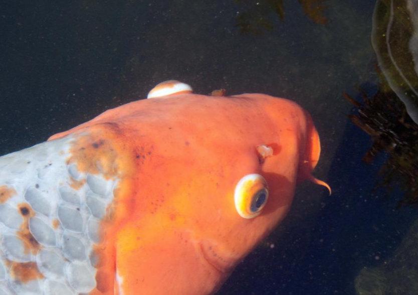 hogyan kezeljük az aranyhal vörös foltjait pikkelysömör a szemhéjon kenőcs kezelés
