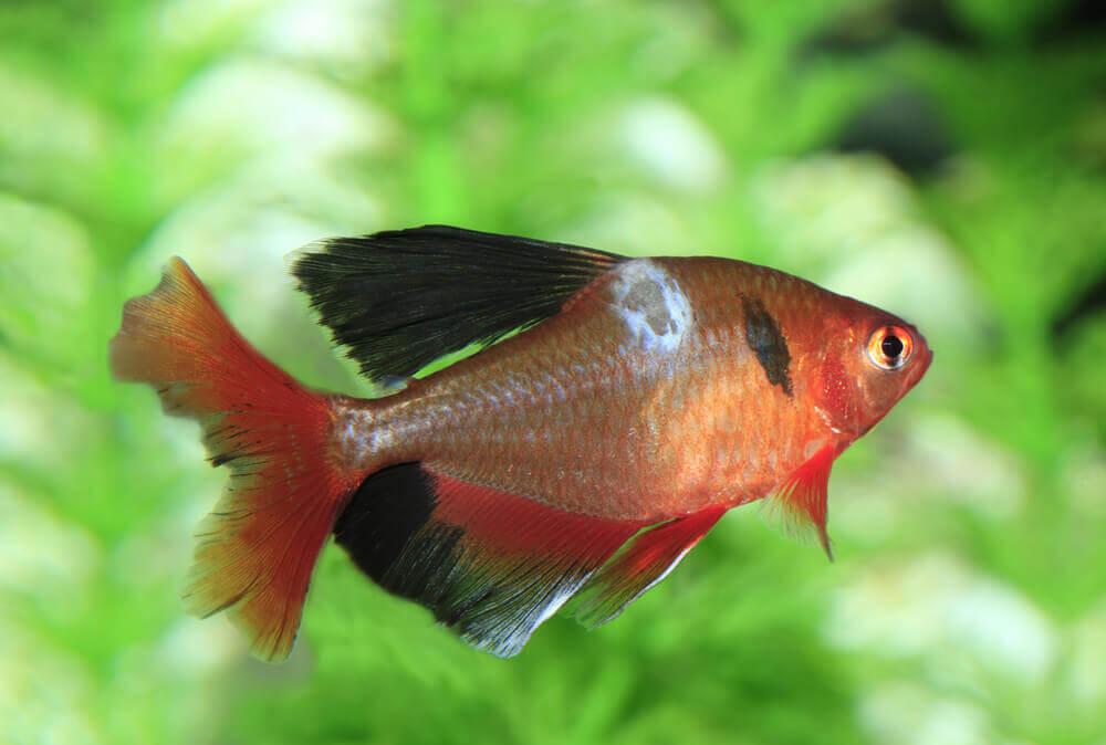 hogyan kezeljük az aranyhal vörös foltjait az egész arcát apró vörös foltok borítják