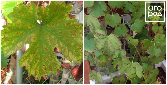 A szőlő fontosabb vírusos és fitoplazmás betegségei