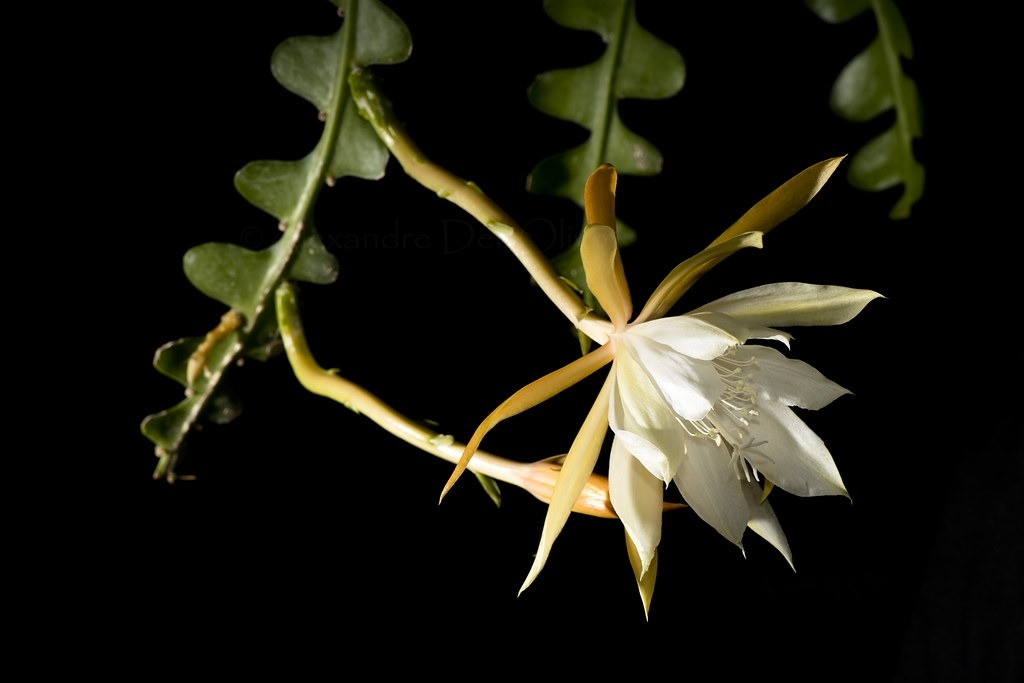 cactus epiphyllum pikkelysömör kezelése
