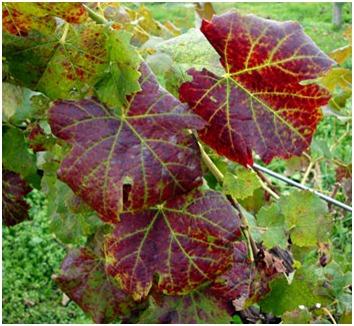 A szőlőlevelek és szerepük a szőlőtermesztésben