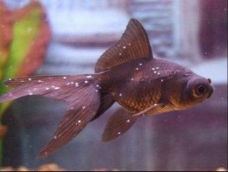 az aranyhal betegségei és kezelésük vörös foltok)